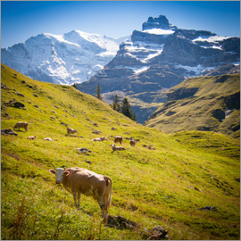 Jan Schuler - Cow in the Swiss Alps