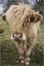John Short - Cow With Long Hair Over It's Face