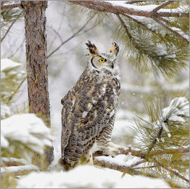 John Pitcher - Long Eared Owl