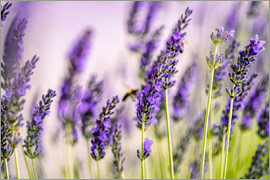 Nailia Schwarz - Lavender in Summer