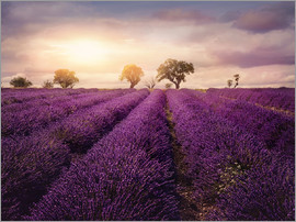 Elena Schweitzer - Lavender field at sunset, Provence