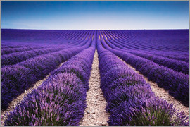 Matteo Colombo - Lavender field in Provence, France