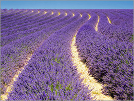 Terry Eggers - Lavender field in Valensole