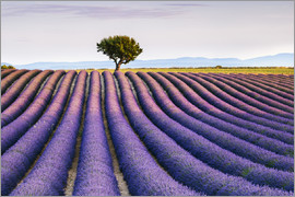 Matteo Colombo - Lavender field and tree at sunset, Provence