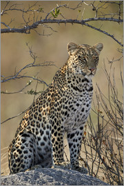 James Hager - Leopard perched on its rock
