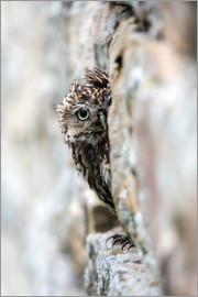 Ann & Steve Toon - Little owl (Athene noctua) perched in stone barn, captive, United Kingdom, Europe