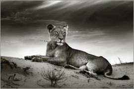 Johan Swanepoel - Lioness resting on top of a sand dune