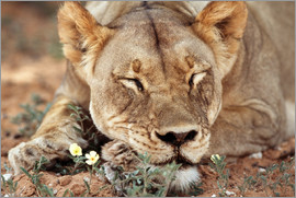Paul Souders - Lioness sleep by wildflower