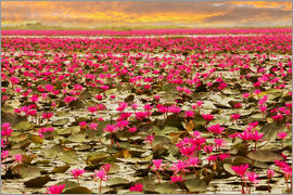 Rising lotus flowers