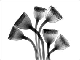 Lotus seedheads, X-ray