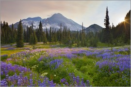 Gary Luhm - Lupine in flower meadow at sunrise
