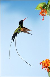 Rolf Nussbaumer - Mänlicher hummingbird in flight against the blue sky at the height