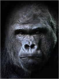 male gorilla in Portrait