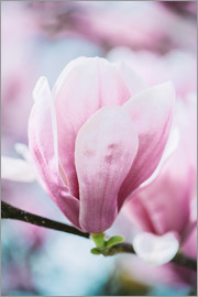 Peter Wey - Closeup of blossoming magnolia in spring