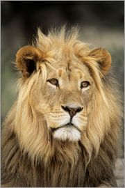 Peter Chadwick - Male lion