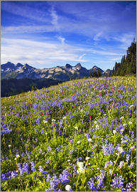 Chuck Haney - Picturesque wildflower meadow in front of Mount Rainier