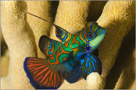 Dave Fleetham - Mandarin fish