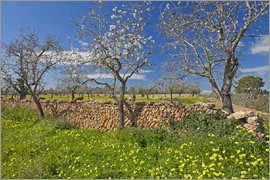 Chris Seba - Almond trees and stone walls