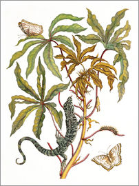 Maria Sibylla Merian - cassava with crocodile and butterfly metamorphosis