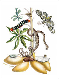 Maria Sibylla Merian - Cassava and giant horseshoe