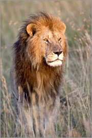 FLPA - Maasai lion in the prairie