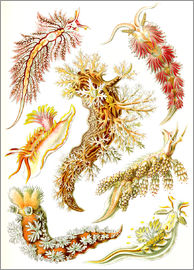 Ernst Haeckel - Nudibranches