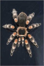 Janette Hill - Mexican Red Knee Tarantula (Brachypelma Smithi), captive, Mexico, North America