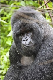 Peter J. Raymond - Mountain gorilla
