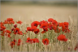 John Short - Poppies Growing Wild