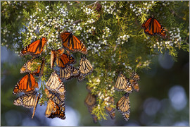 Monarch butterflies (Danaus plexippus) roosting in Eastern Red Cedar tree (Juniperus virginiana), Pr