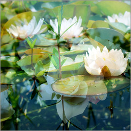 Alaya Gadeh - montage of white water lilies, alaya gadeh, water lily, garden