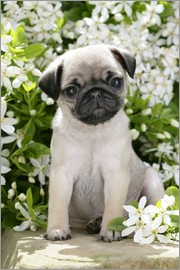 Greg Cuddiford - Pug in garden