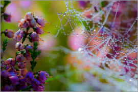 Mark Scheper - Morning dew on Erica and spider web
