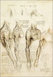 Leonardo da Vinci - Muscles of shoulder, arm and neck