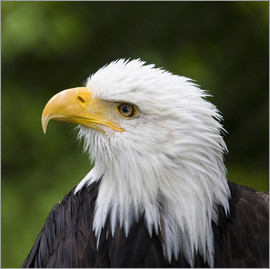 Janet Muir - Close-up of a bald eagle
