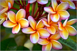 Mark Williford - Close-up of frangipani flowers