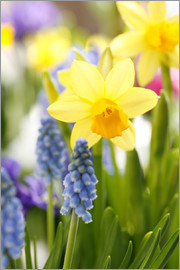 Sweet INK - Daffodils, Easter flowers, Easter bells, grape hyacinths, onion plants