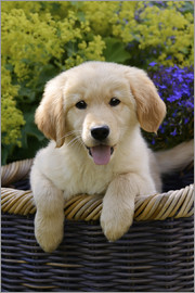 Katho Menden - Cute Golden Retriever Puppy