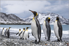 Deb Garside - Nine King Penguins (Aptenodytes patagonicus), South Georgia, South Georgia and the South Sandwich Is
