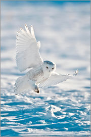 Bernie Friel - North America, USA, Minnesota, Vermillion, Snowy Owl in Flight, Landing on Snow