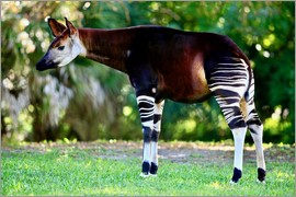 TUNS - Okapi, female