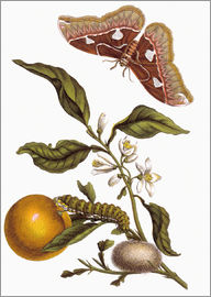 Maria Sibylla Merian - Orange and moths