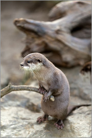 Otter with walker