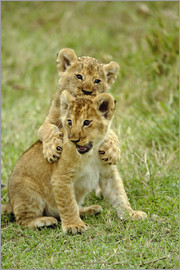 Adam Jones - Pair of lion cubs playing, Masai Mara Game Reserve, Kenya