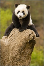Alice Garland - Baby Panda on a tree stump
