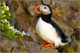Ralph H. Bendjebar - Puffin in breeding plumage