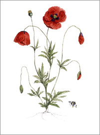 German School - Papaver Rhoeas (Common Poppy)