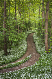 Andreas Wonisch - Path through Forest full of Wild Garlic