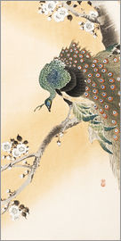 Ohara Koson - A peacock in a cherry tree crown