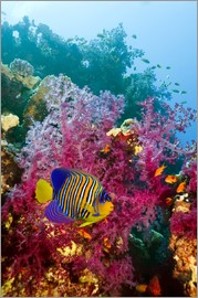 Georgette Douwma - Regal angelfish